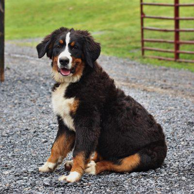 Reba - Bernese Mountain Dog puppy for sale at Blain, Pennsylvania