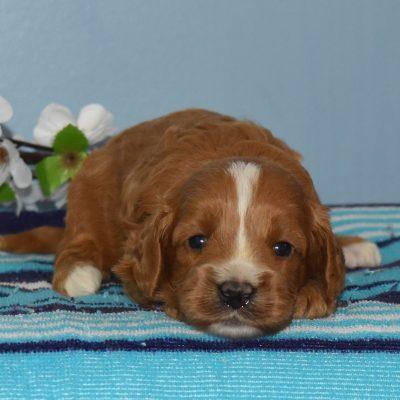 Reese - F1b Cavapoo puppie for sale in Sunbury, Pennsylvania