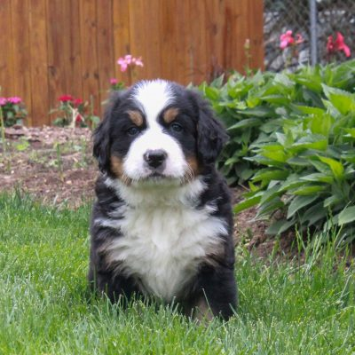 Renee - puppy Bernese Mountain Dog for sale at Ronks, Pennsylvania