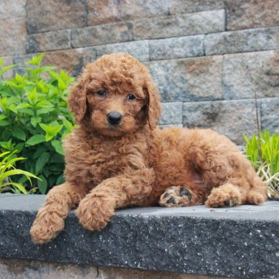 Rex - f1b Standard Goldendoodle male puppy for sale at Honeybrook, Pennsylvania