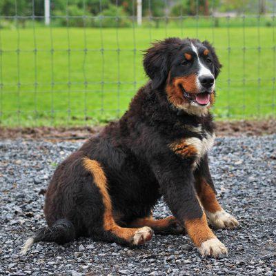 Rhoda - puppie Bernese Mountain Dog for sale at Blain, Pennsylvania