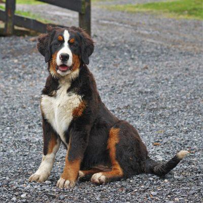 Rhonda - Bernese Mountain Dog female pupper for sale in Blain, Pennsylvania