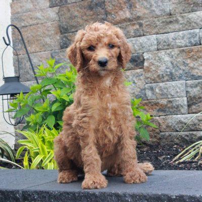 Rissa - female f1b Standard Goldendoodle puppy for sale at Honeybrook, Pennsylvania