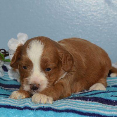 Robby - F1b Cavapoo male pup for sale at Sunbury, Pennsylvania