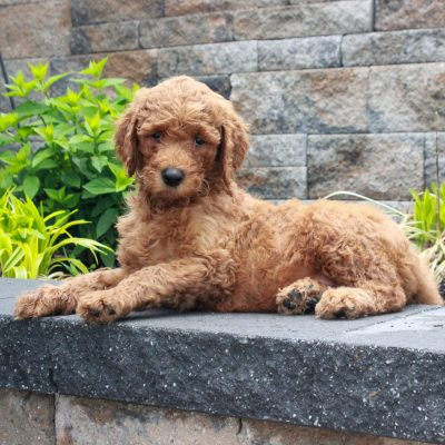 Rosy - f1b Standard Goldendoodle female pupper for sale at Honeybrook, Pennsylvania