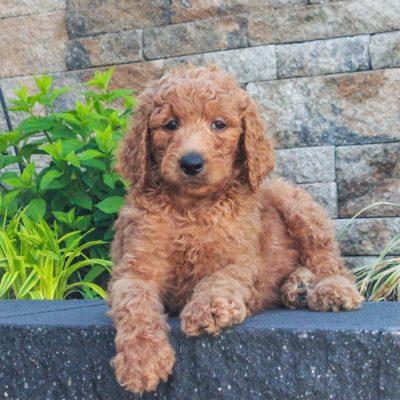 Rover - puppie f1b Standard Goldendoodle male for sale near Honeybrook, Pennsylvania