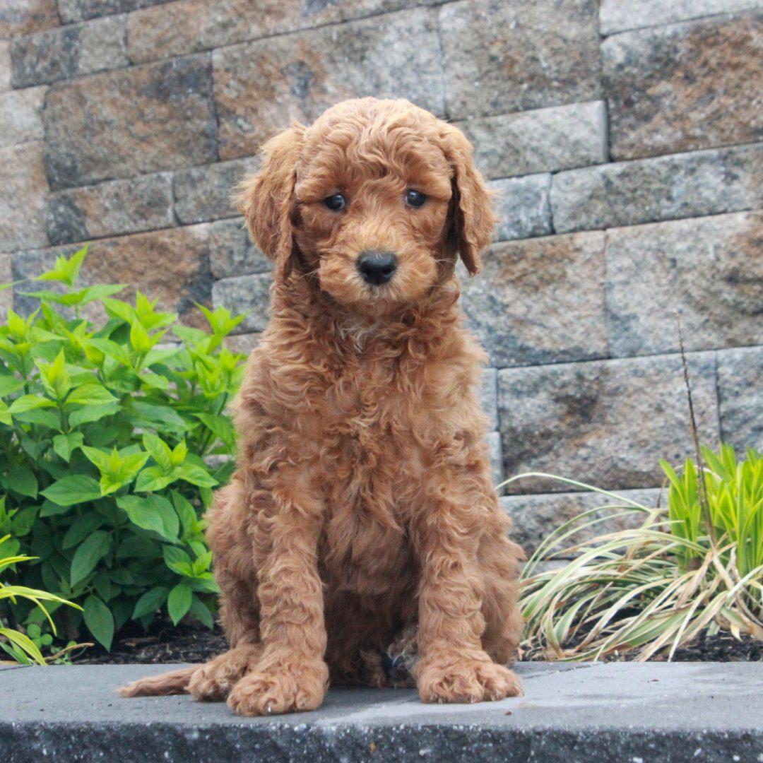 Rudy - f1b Standard Goldendoodle male pup for sale near Honeybrook, Pennsylvania