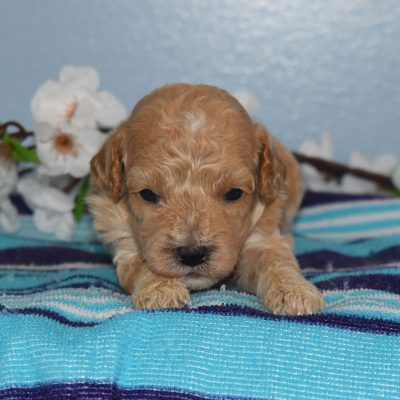 Rusty - male F1b Cavapoo puppy for sale in Sunbury, Pennsylvania