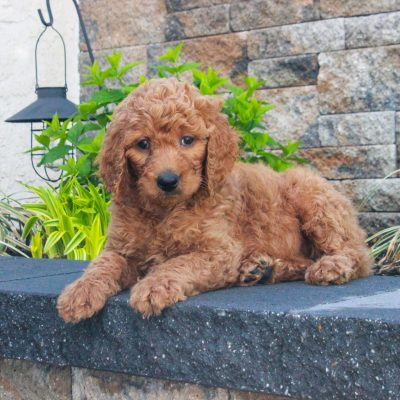 Rylie - f1b Standard Goldendoodle female pupper for sale at Honeybrook, Pennsylvania