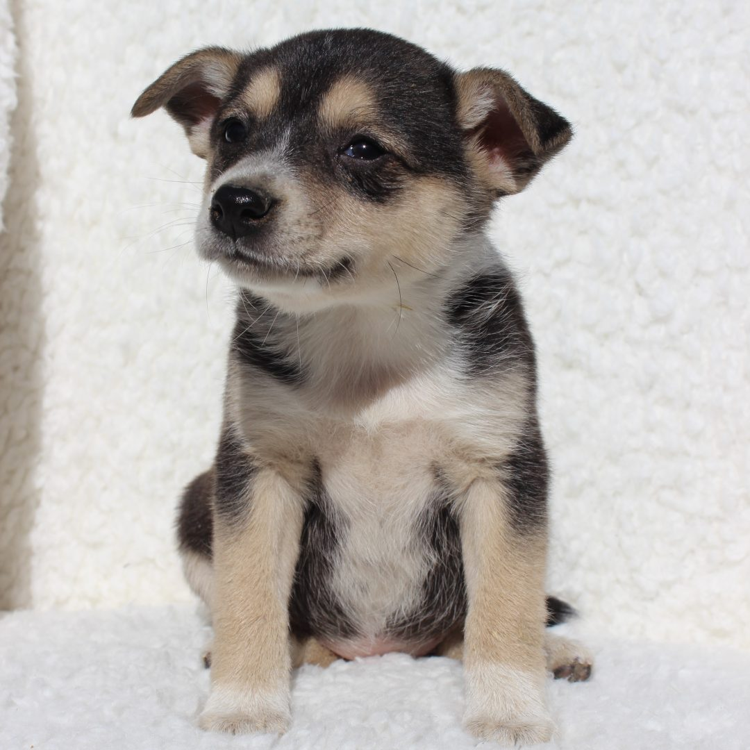 Sally - female Spitz Mix pupper for sale at Charlotte Hall, Maryland