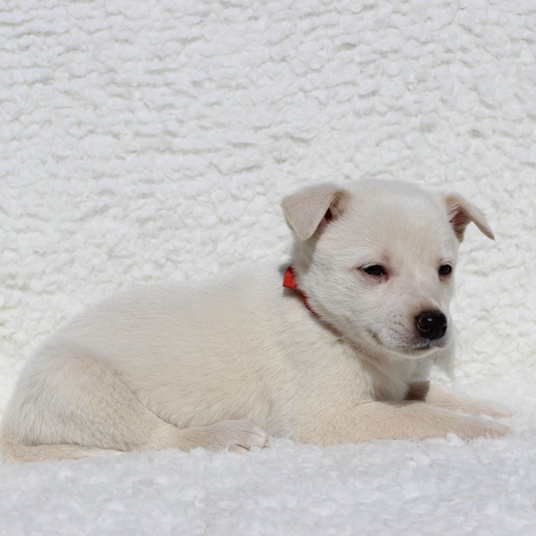 Sam - Spitz Mix male doggie for sale in Charlotte Hall, Maryland
