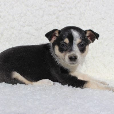 Sassy - Spitz Mix puppie for sale near Charlotte Hall, Maryland