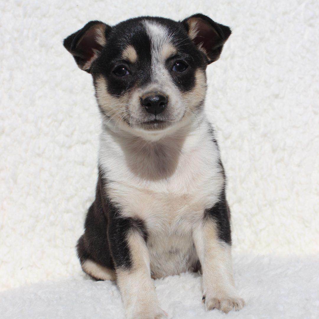 Sassy - Spitz Mix puppie for sale near Charlotte Hall, Maryland