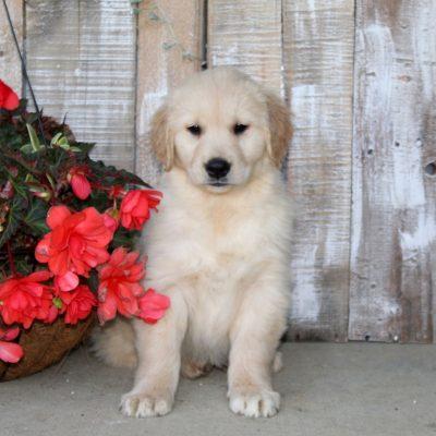 Shep - Golden Retriever pup for sale near Christiana, Pennsylvania