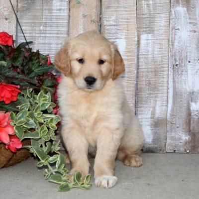 Shiloh - Golden Retriever pupper for sale in Christiana, Pennsylvania