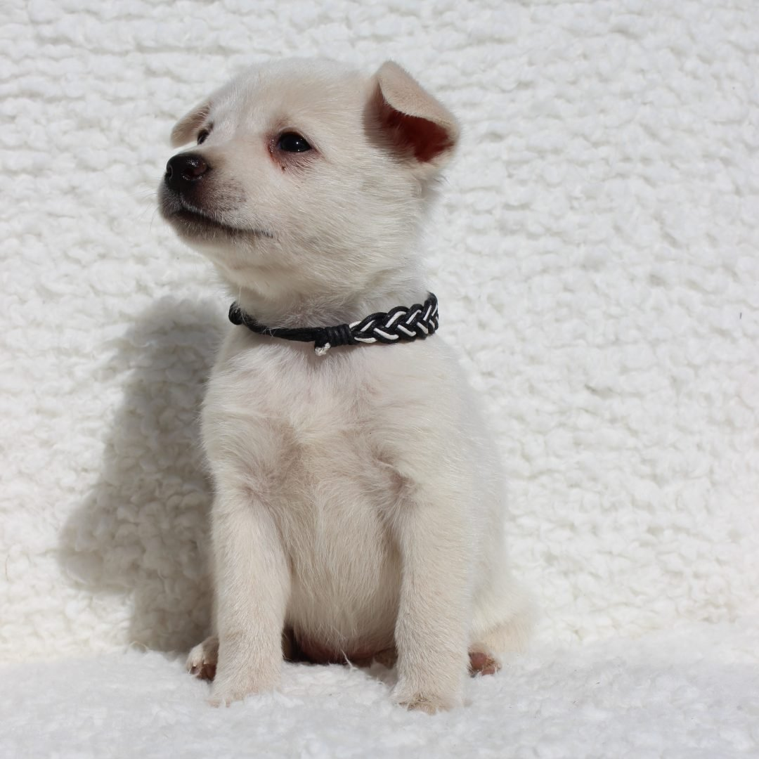 Snow - Spitz Mix pup for sale in Charlotte Hall, Maryland