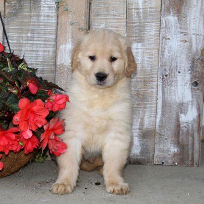 Spike - Golden Retriever doggie for sale at Christiana, Pennsylvania