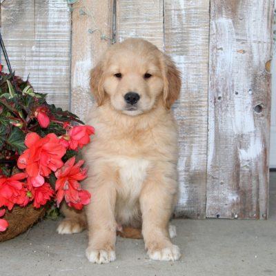 Stanley - male Golden Retriever puppy for sale near Christiana, Pennsylvania