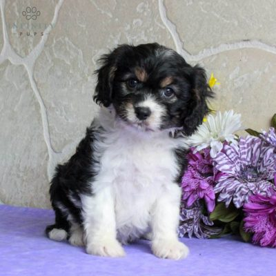 Sarah - puppy F1 Cavachon for sale near Gordonville, Pennsylvania