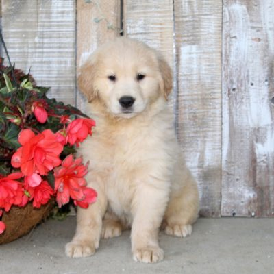 Sunshine - Golden Retriever doggie for sale in Christiana, Pennsylvania