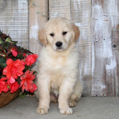 Suzie - female Golden Retriever puppy for sale at Christiana, Pennsylvania