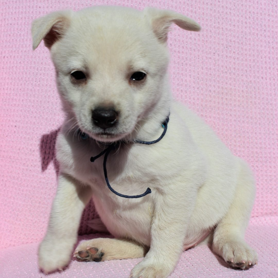 Sydney - Spitz Mix female puppy for sale at Charlotte Hall, Maryland