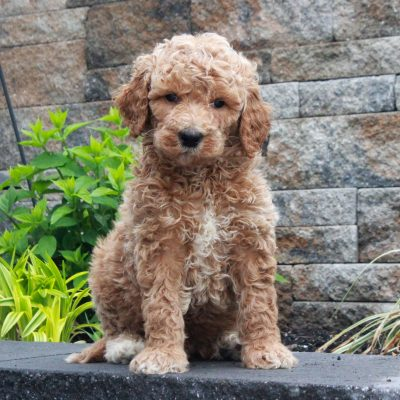 Tanner - male f1b Standard Goldendoodle puppy for sale near Honeybrook, Pennsylvania