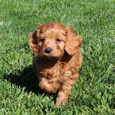 Tasha - female F1 Cavapoo pup for sale in Cochranville, Pennsylvania