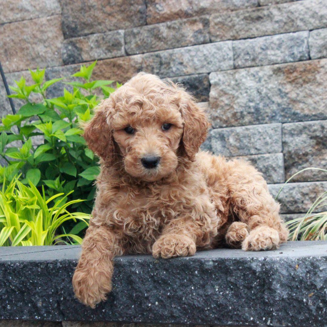 Tex - f1b Standard Goldendoodle male doggie for sale at Honeybrook, Pennsylvania