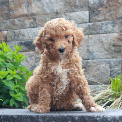 Tilly - pup f1b Standard Goldendoodle for sale at Honeybrook, Pennsylvania