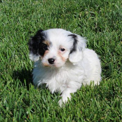 Timmy - doggie F1 Cavapoo male for sale in Cochranville, Pennsylvania