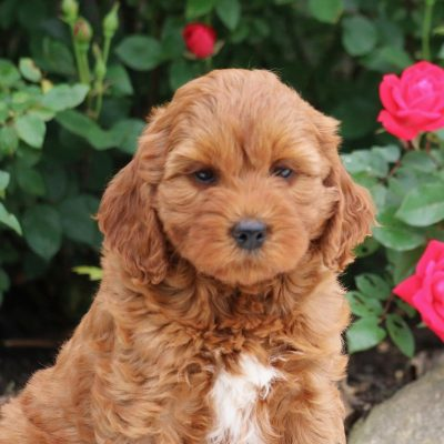 Tina - F1b Mini Goldendoodle female puppie for sale in Myerstown, Pennsylvania
