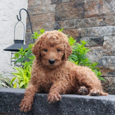 Toby - f1b Standard Goldendoodle male pup for sale near Honeybrook, Pennsylvania