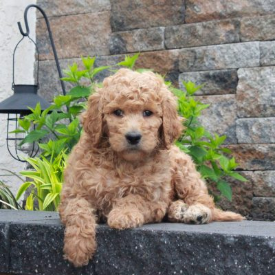 Tracy - f1b Standard Goldendoodle female pupper for sale near Honeybrook, Pennsylvania