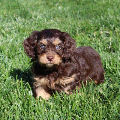 Trixie - F1 Cavapoo female puppie for sale near Cochranville, Pennsylvania