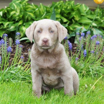 Trixie - AKC Silver Labrador retriever female pup for sale at Quarryville, Pennsylvania