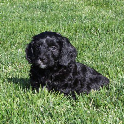 Tucker - F1 Cavapoo male puppy for sale at Cochranville, Pennsylvania