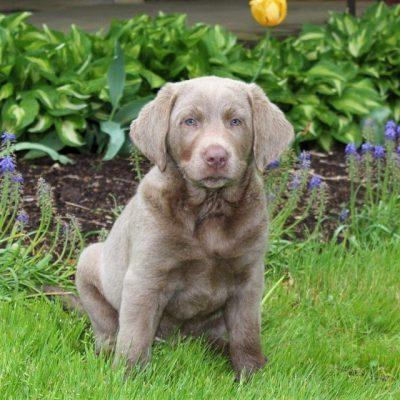 Tucker - AKC Silver Labrador retriever male pupper for sale near Quarryville, Pennsylvania