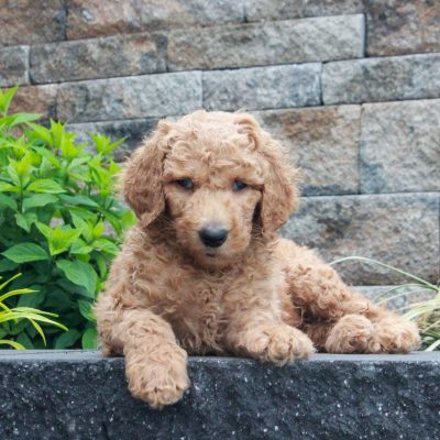 Tucker - f1b Standard Goldendoodle male puppie for sale in Honeybrook, Pennsylvania