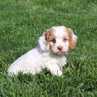 Tyler - F1 Cavapoo male pup for sale near Cochranville, Pennsylvania
