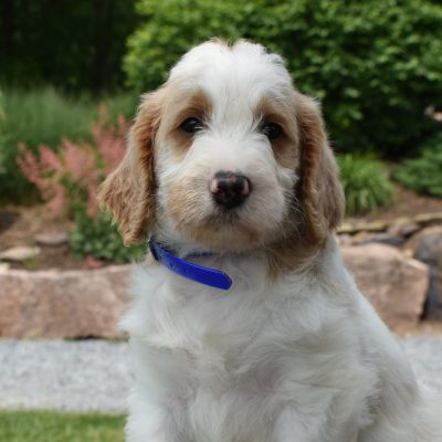 Zalen - f1b Standard Labradoodle male puppie for sale in Narvon, Pennsylvania