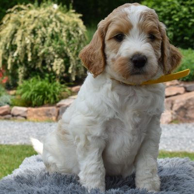 Zara - female f1b Standard Labradoodle pup for sale in Narvon, Pennsylvania