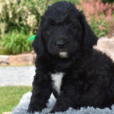 Zayden - f1b Standard Labradoodle pup for sale at Narvon, Pennsylvania