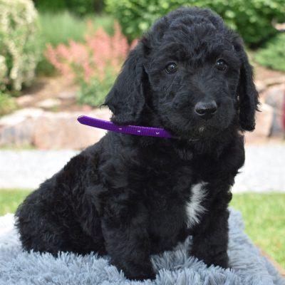 Zelda - f1b Standard Labradoodle female doggie for sale at Narvon, Pennsylvania