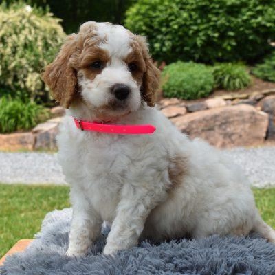Zoey - f1b Standard Labradoodle female puppy for sale near Narvon, Pennsylvania