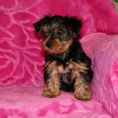 Sam - Yorkshire Terrier puppy for sale