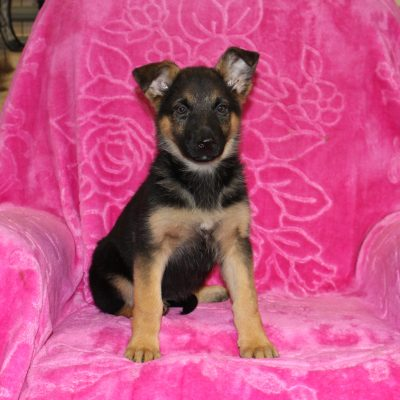 Polly - AKC German Shepherd female pup for sale
