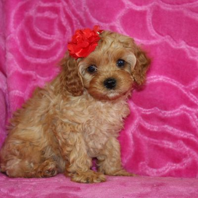 Skipper - Cavapoo male pup for sale