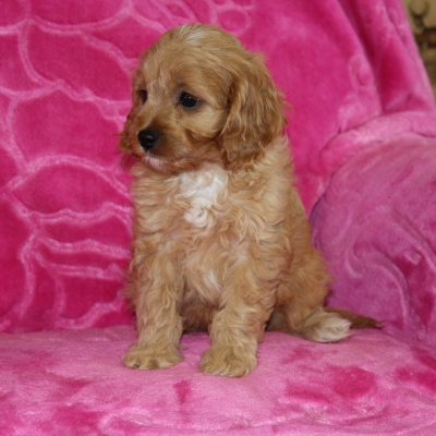 Rambo - Cavapoo male puppie for sale