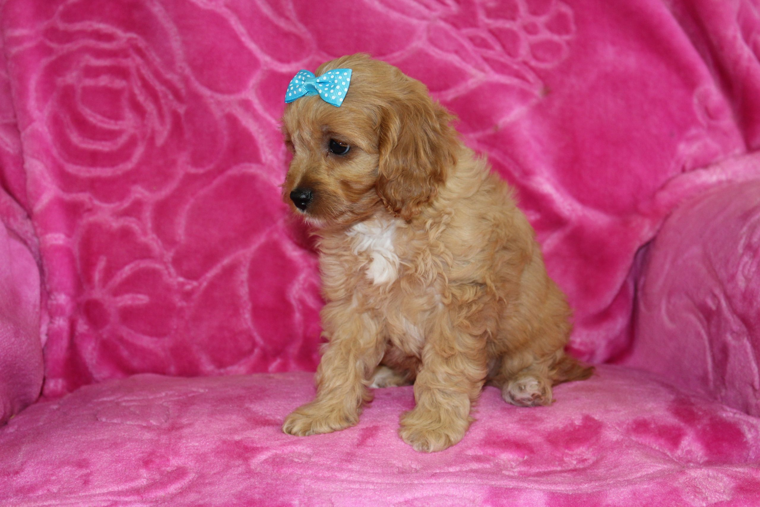 Romeo - Cavapoo male doggie for sale